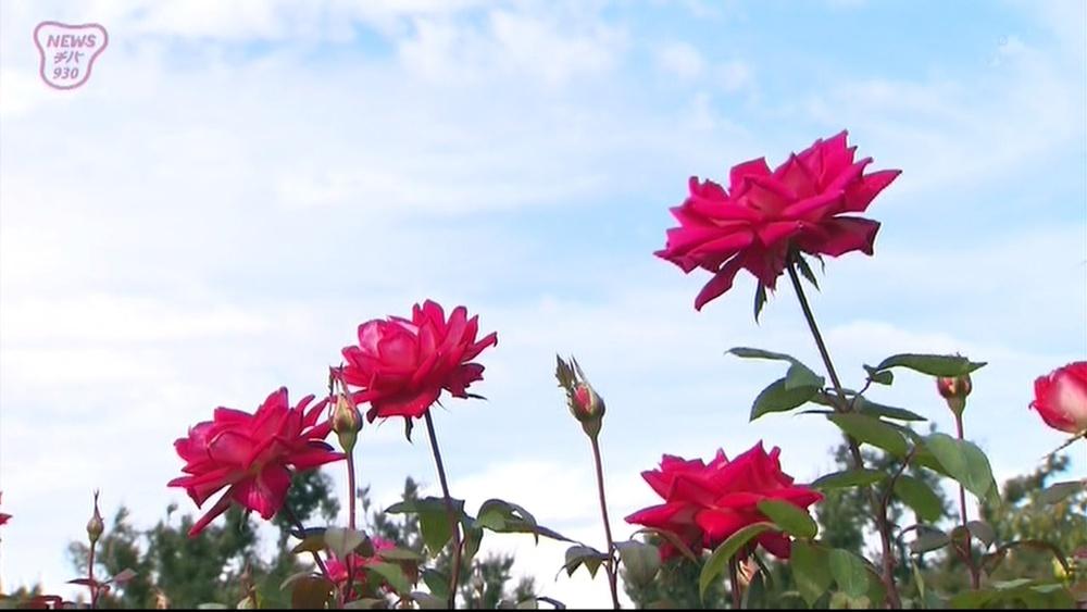 京成バラ園 色鮮やかに咲く 秋バラ見ごろ