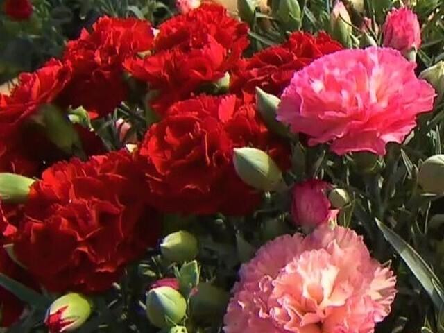 カーネーションの出荷ピーク 千葉県市川市の花農家