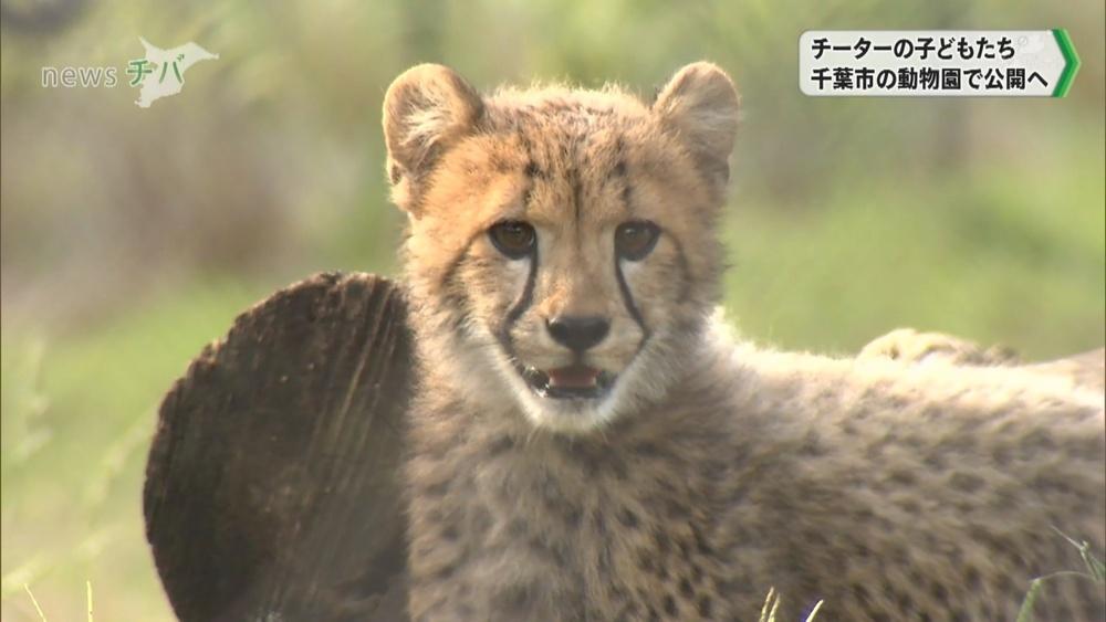 千葉市動物公園 チーターの子どもたち公開へ