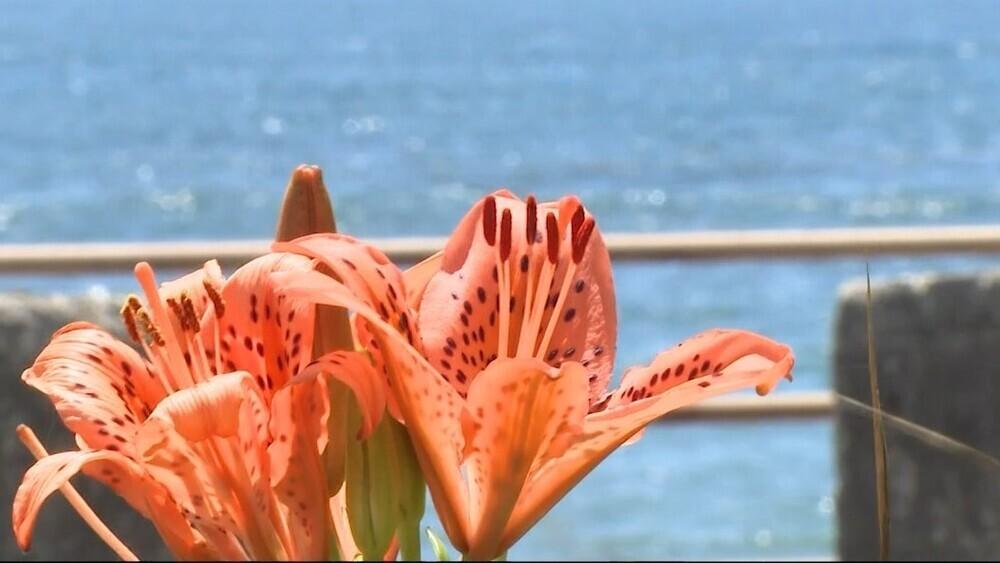 スカシユリが見ごろ 千葉県いすみ市の太東海浜植物群落