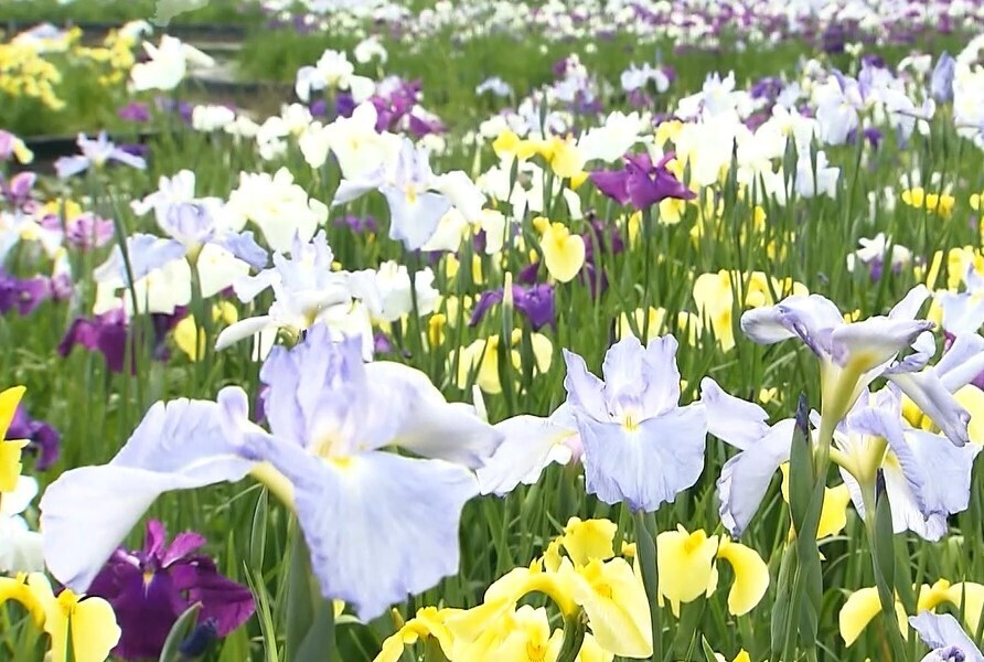 色鮮やかな「ハナショウブ」今週末ごろまで見ごろ 千葉県袖ケ浦市