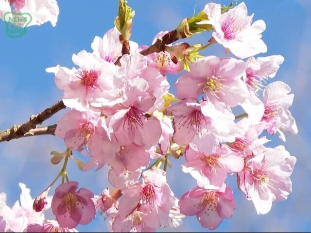 鋸南町 頼朝桜 満開