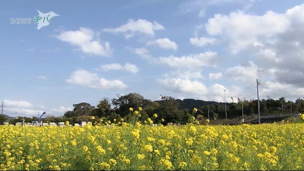 休耕田を花畑に 千葉県南房総市で菜の花が満開