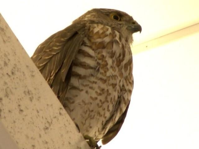 JR千葉駅に迷い込んだ野鳥 死んでいるのを確認